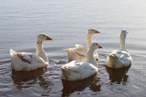 geese-5832933_640.jpg